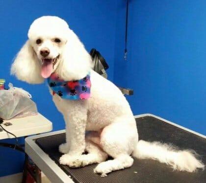 Poodle grooming | Preppy Pet West Houston