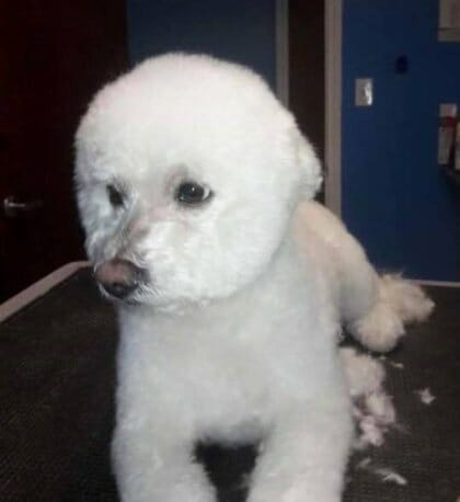 Bichon Frise Groming | Preppy Pet West Houston