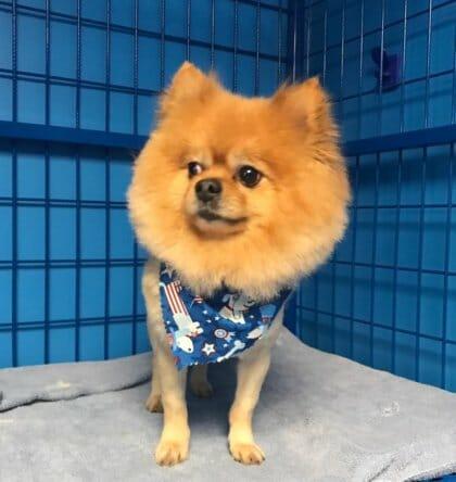 Pomeranian Grooming | Preppy Pet West Houston