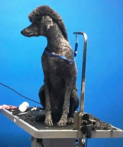 Standard Poodle Grooming | Preppy Pet West Houston