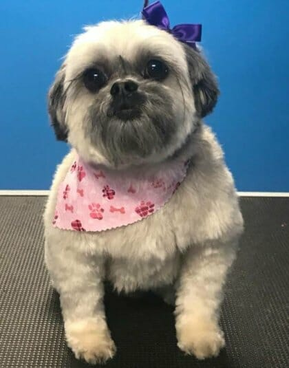Happy dog after a dog groom at Preppy Pet West Houston