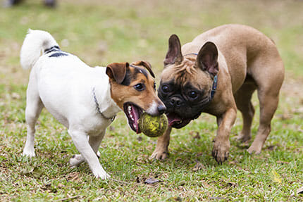 Dogs playing with a ball outside