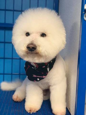 Bichon Frise Dog Grooming | Preppy Pet West Houston