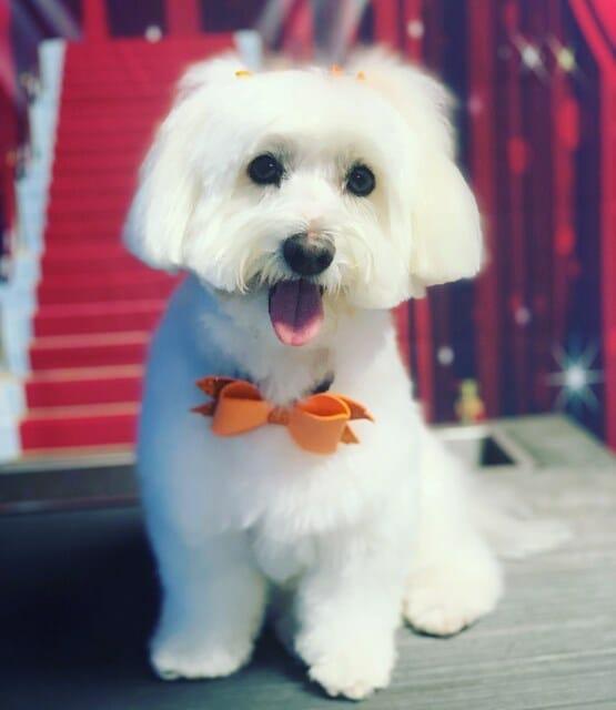 Dog Grooming | Coton De Tulear | Preppy Pet West Houston